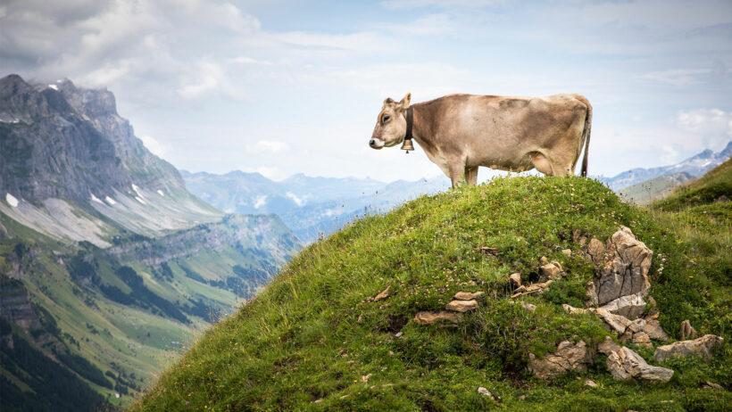 Vache beige sur herbe en hauteur avec montagnes en fond